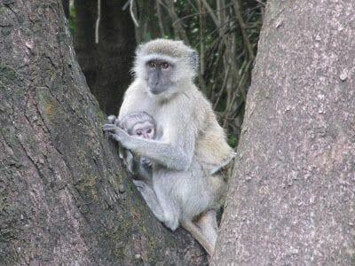 mono cataratas Victoria