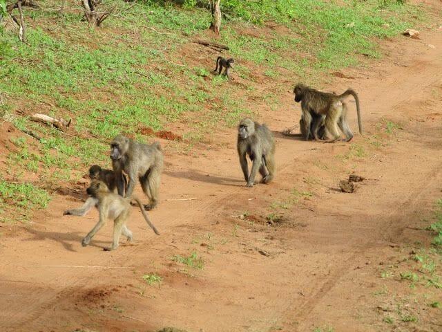 monos en chobe