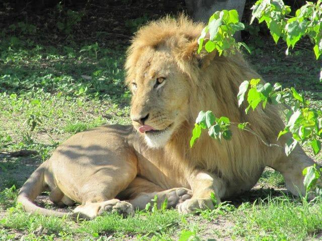leon descansando, leon estirado, melena leon
