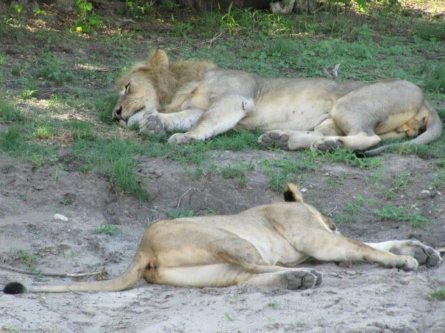 leones durmiendo, leones chobe, leon y leona