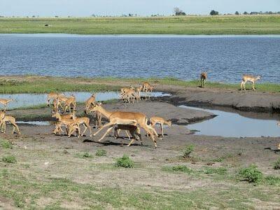 gacelas del Chobe