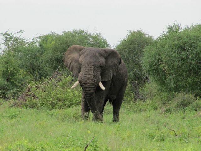 elefante de botswana