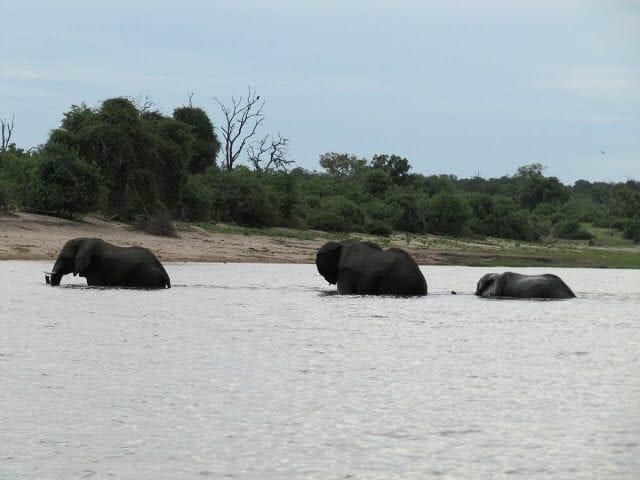 elefantes del Chobe