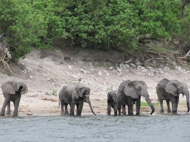 elefantes en el Chobe