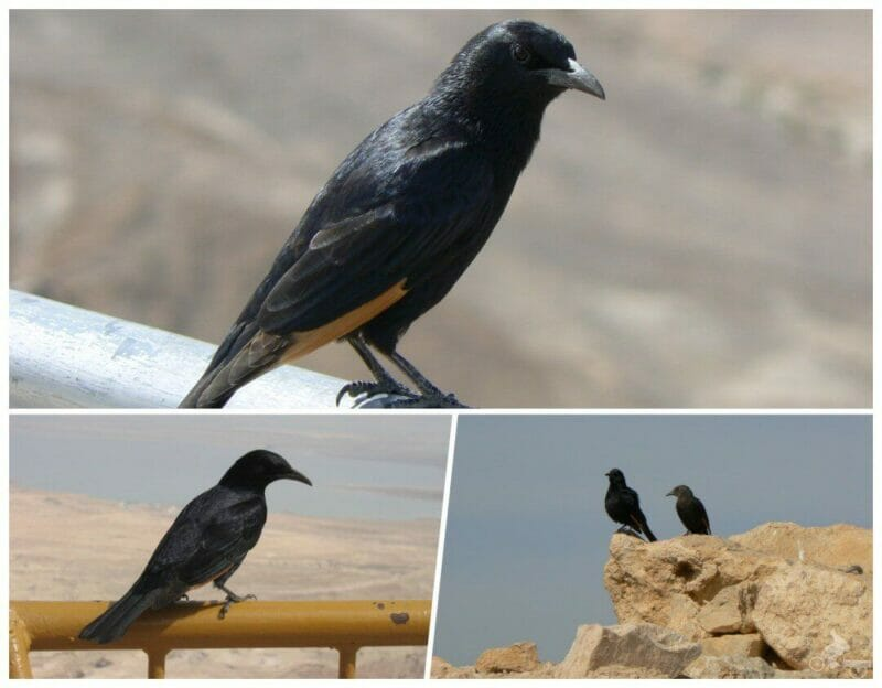 cuervos en Masada Israel