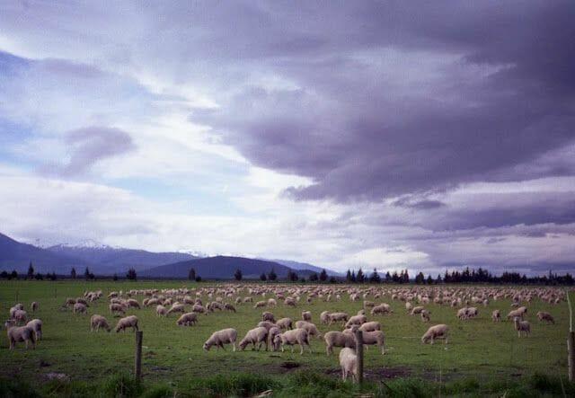 ovejas de Nueva Zelanda