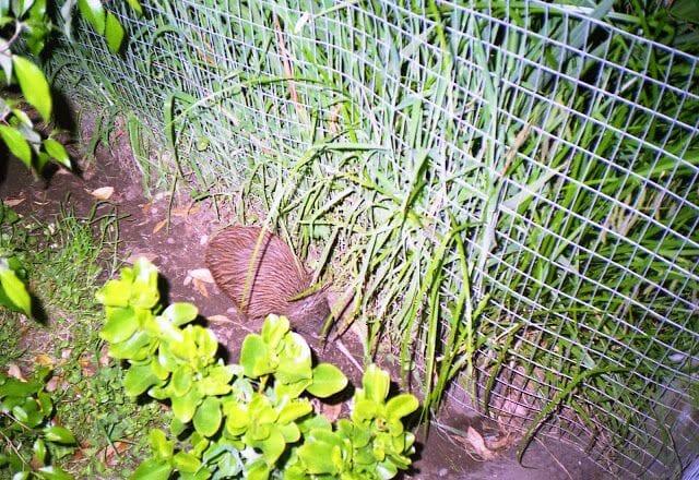 kiwi de Nueva Zelanda