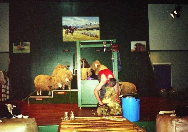 esquuilar ovejas en Nueva Zelanda