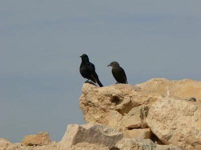 cuervos negros masada