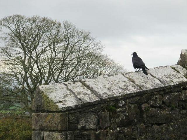 cuervo irlanda nieve