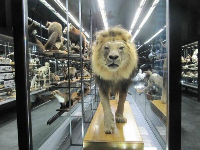 leon disecado, animales museu blau disecados