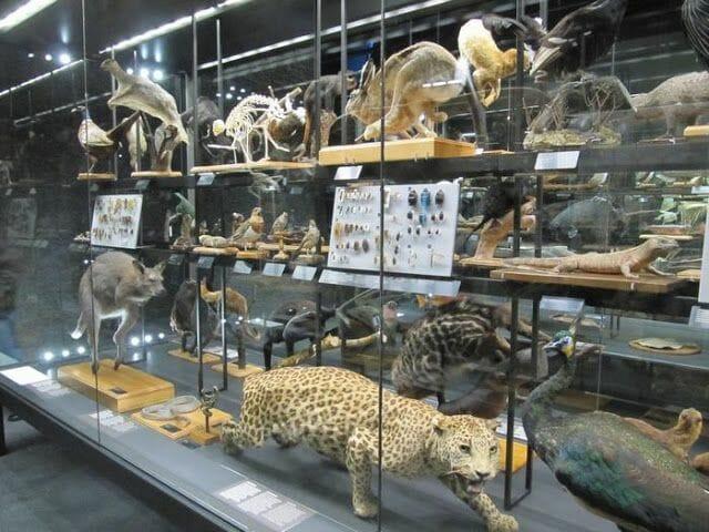 leopardo disecado