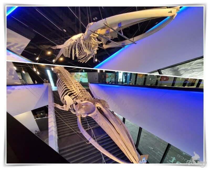 ballena esqueleto del museu blau