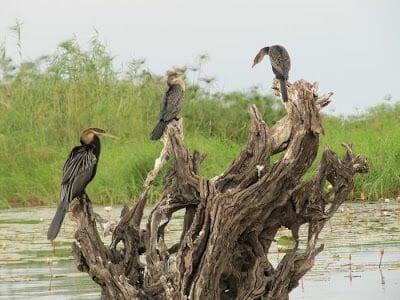 pájaros del parque Chobe