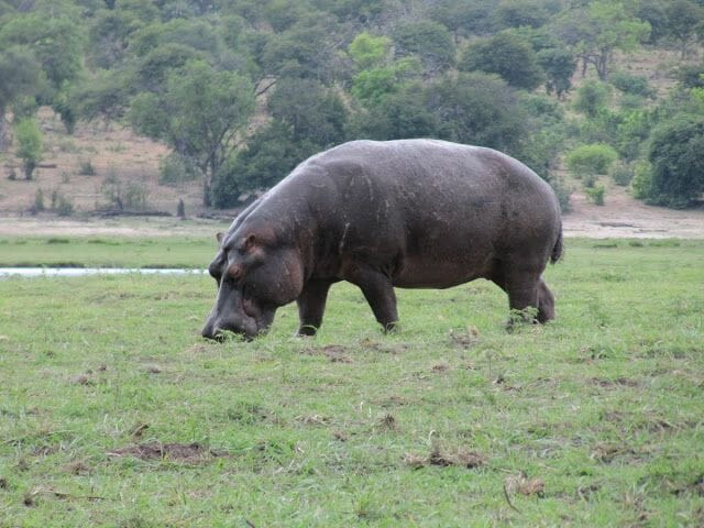 hipopotamo pastando, hipopotamo comiendo, hipopotamo de chobe