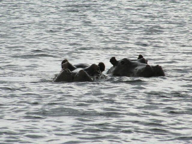 hipopotamos río Chobe