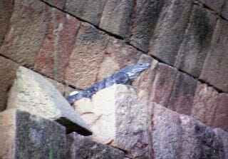 ruinas de uxmal iguana en la ruta puuc