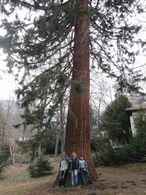sequoia en sofia, arboles gigantes, sequoias en europa