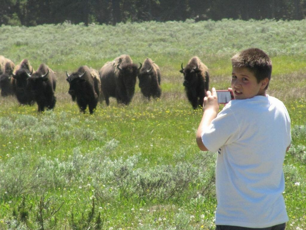 bisontes en yellowstone