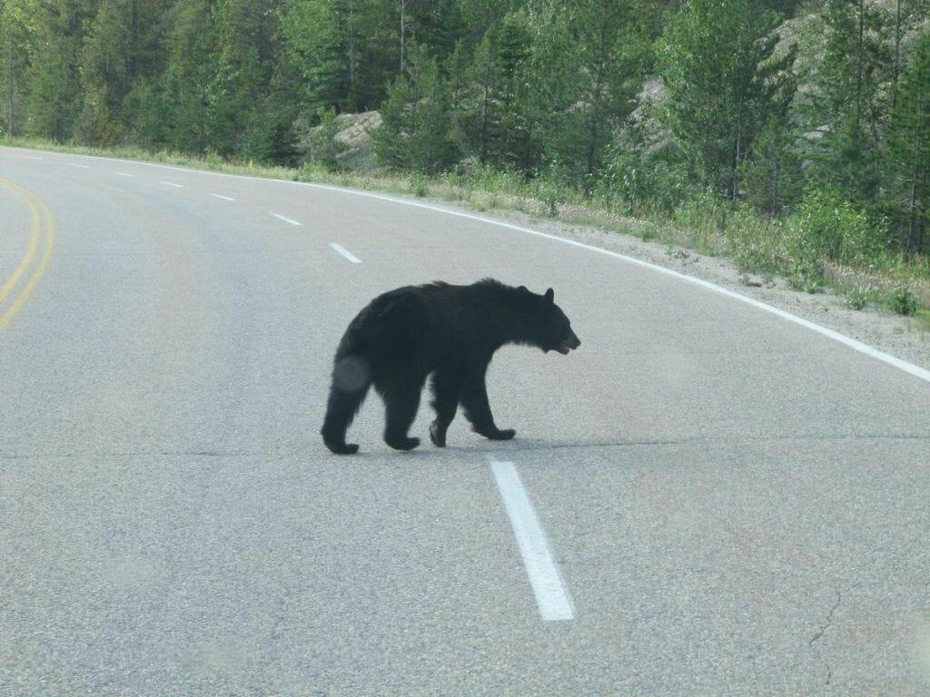 oso negro en parque canadá