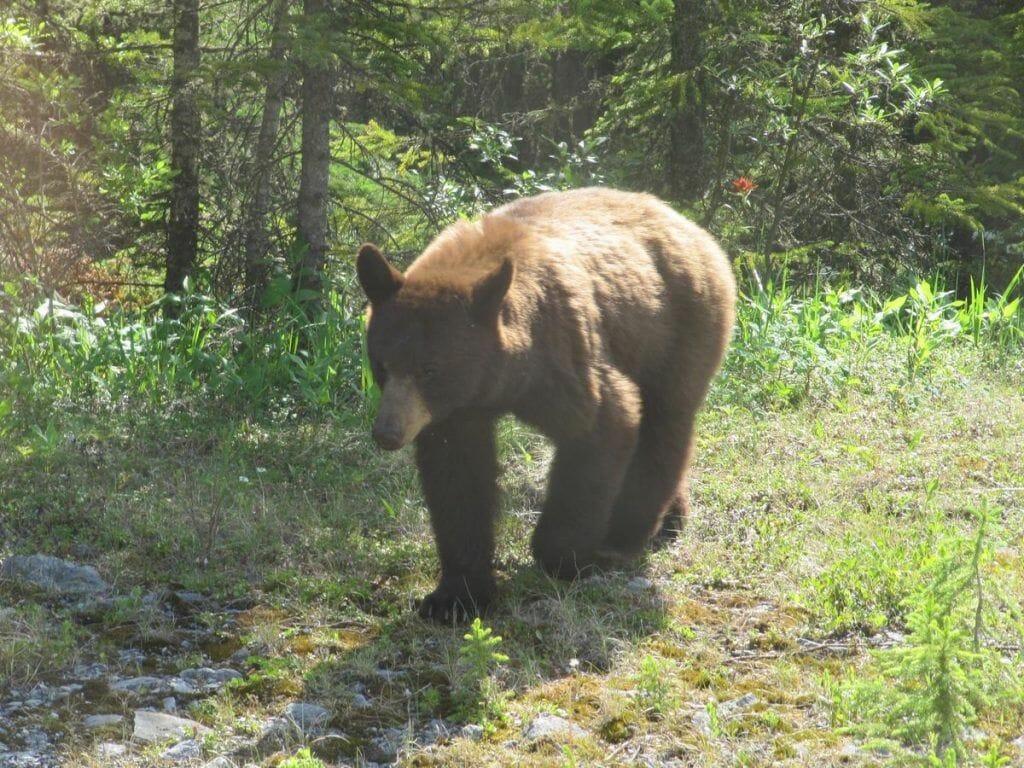 oso grizzly, osos en Canada, Jasper,.