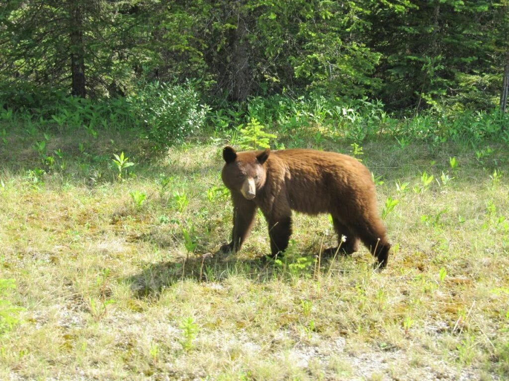 encuentro con oso grizzly en Canadá