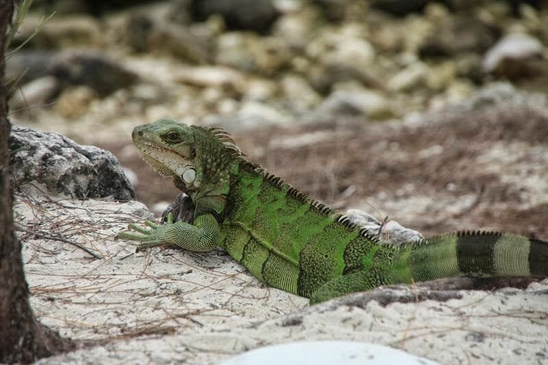 iguanas de playa Coco cay bahamas