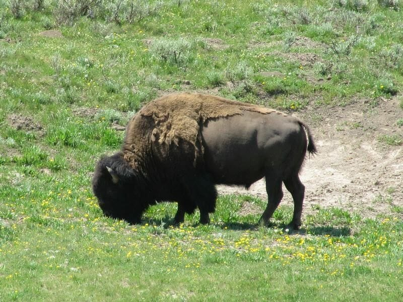 bisontes de yellowstone