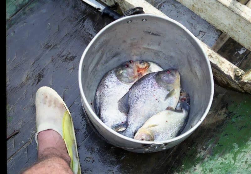 pirañas pescadas