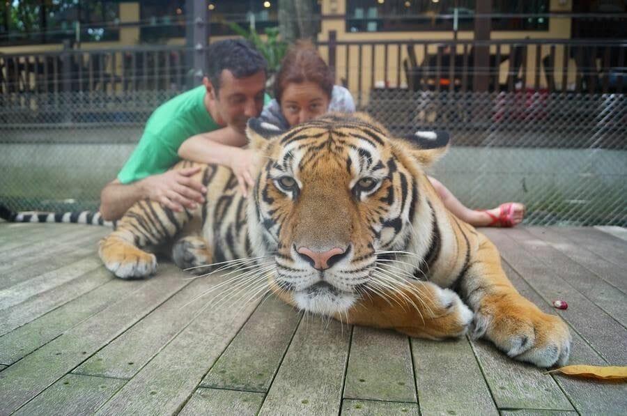 tigres Chiang Mai Tiger Kingdom con personas