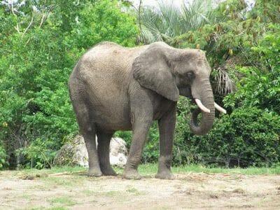 elefante de Animal kingdom