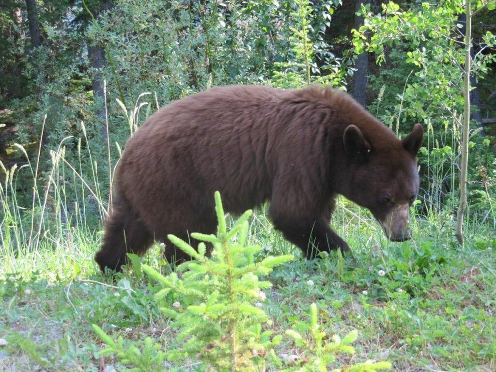 oso Grizzlie en Jasper Canadá
