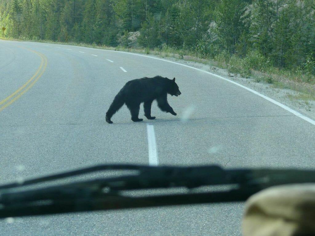 osos lago maligne
