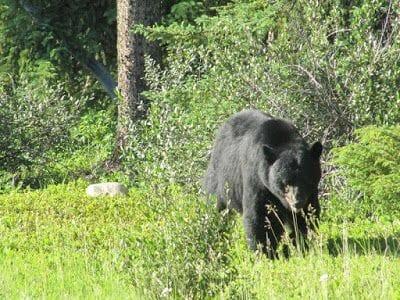 oso negro Canadá