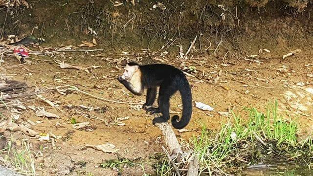 mono de Panamá