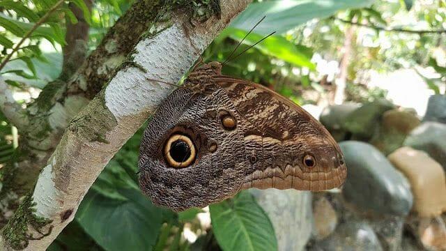 mariposa Panamá