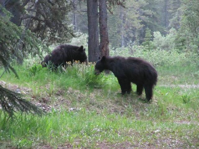 osos en el camping mosquito creek