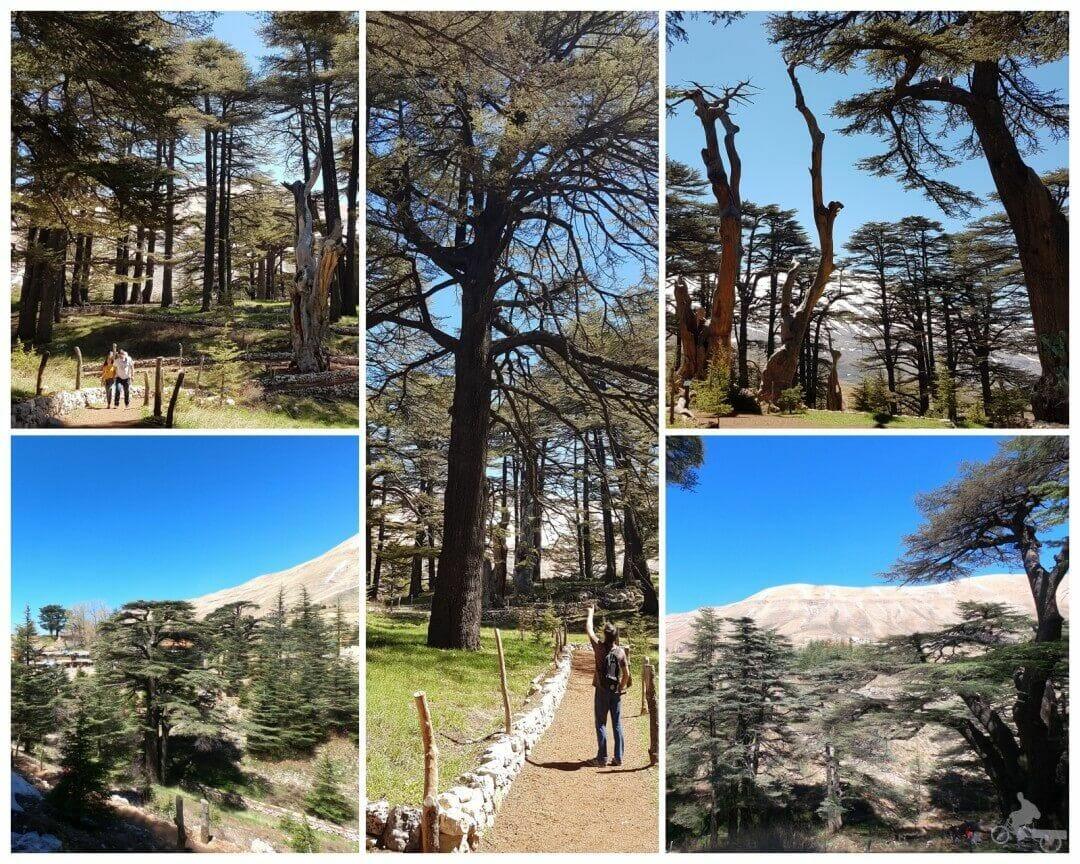 milenarios cedros del líbano