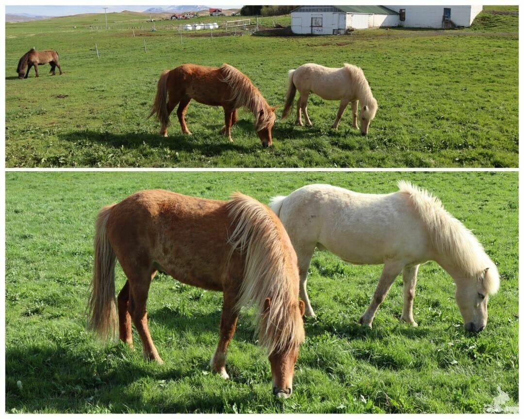 caballo islandes