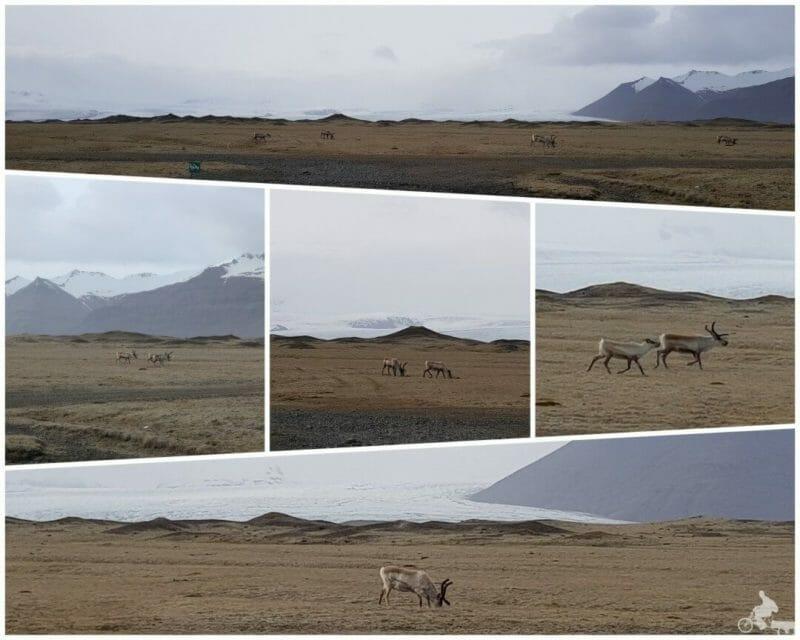 renos islandia