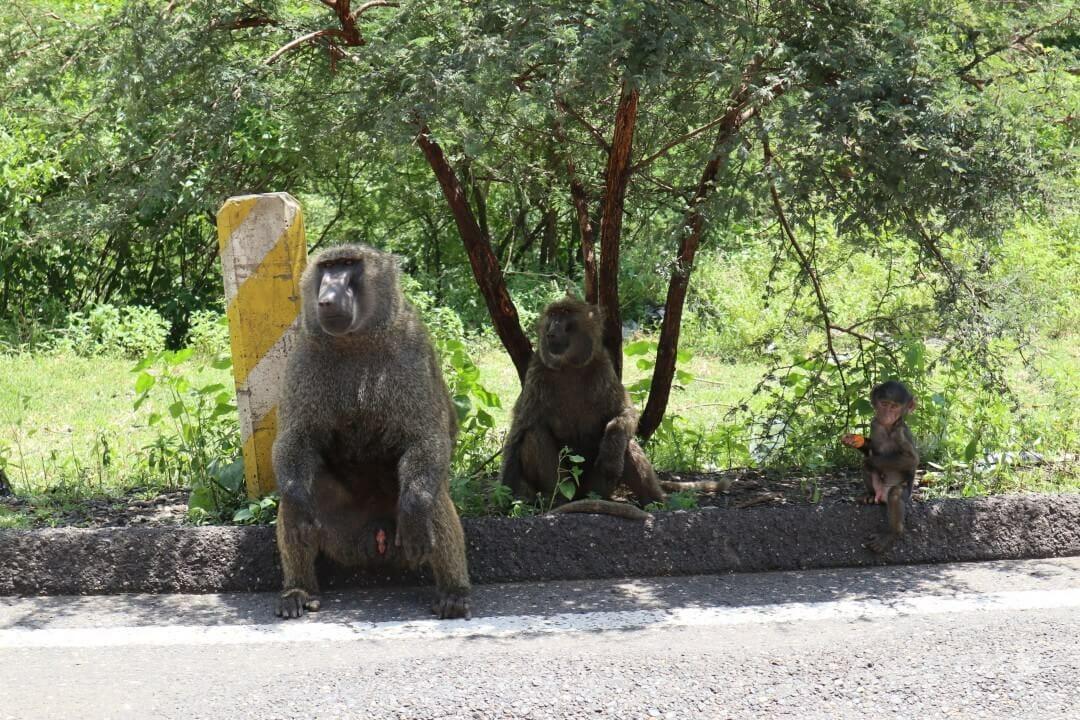Monos Gelada en las gargantas del río Nilo Azul