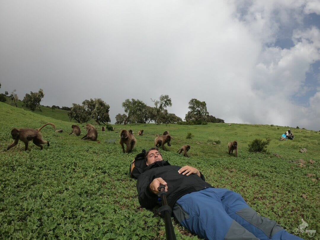 babuinos monos gelada de simien