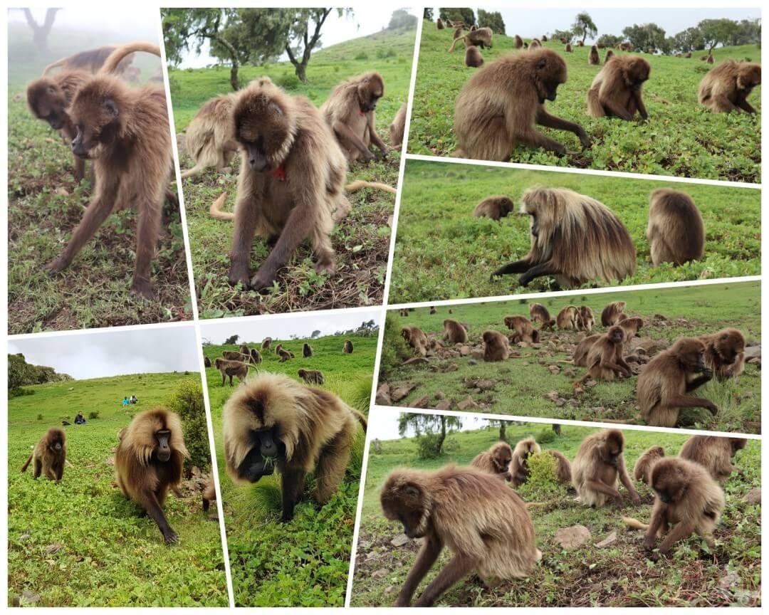 caminando entre monos gelada simien