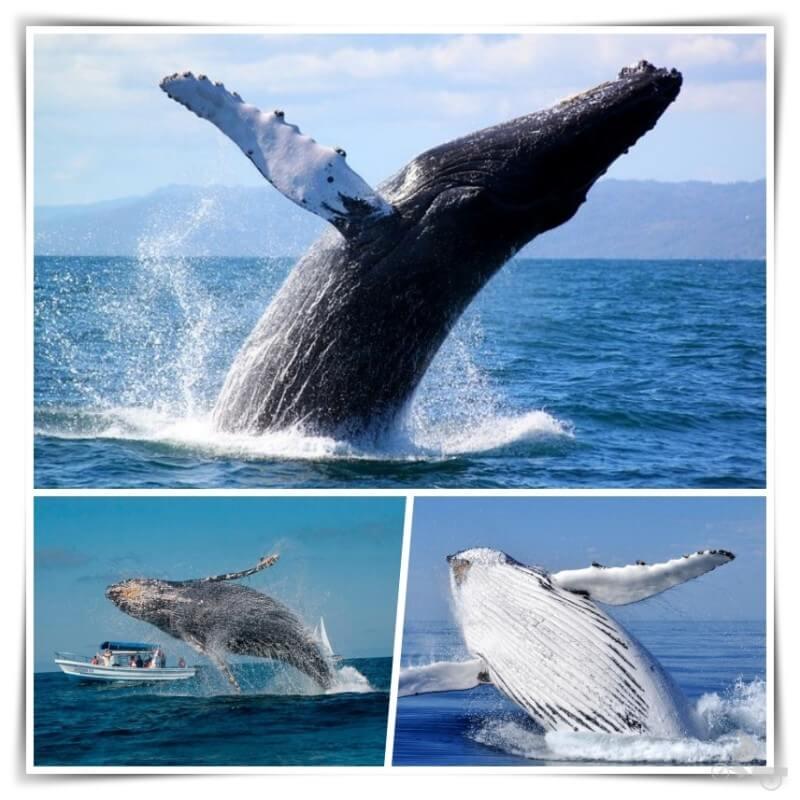 avistamiento de ballenas samana
