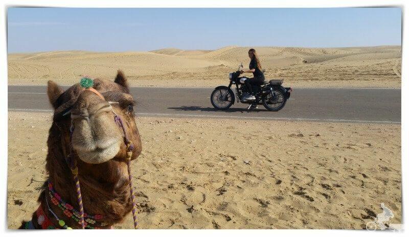 camellos - consejos para viajar al Rajasthán